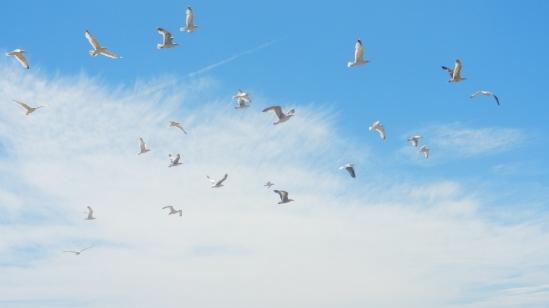 Many Seagulls